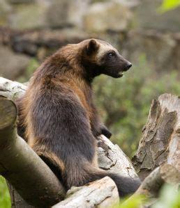 wolverine animal ideas  pinterest wolverines
