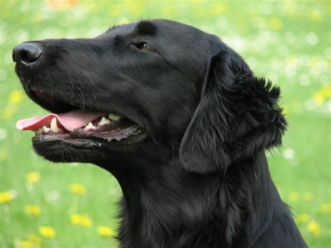 does flat coated retriever shed 153 best flat coated retriever images on