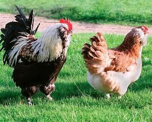 Poule Pondeuse Race : faverolles la ferme de beaumont les poules de grande taille ~ Dallasstarsshop.com Idées de Décoration