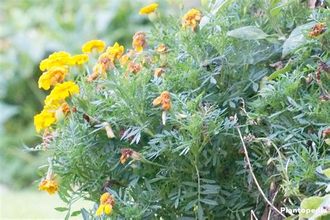 how do you treat black mold tagetes marigold flower information how to plant grow