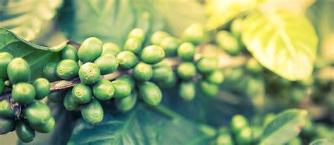 benefits  coffea robusta   green coffee