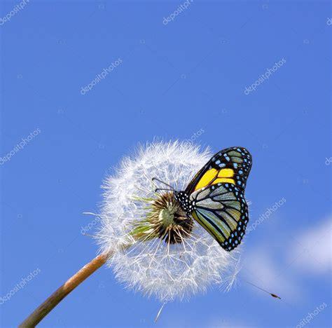 dandelion  butterfly stock photo  majafoto