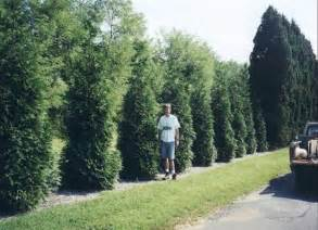 Green Giant Arborvitae Growth Rate