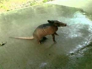 Thirsty Baby Armadillo Approaches Humans For Water In ...