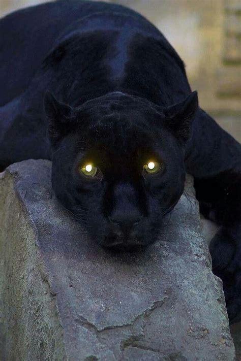 amazing eyes reflecting  sun animals beautiful