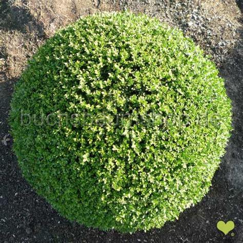 Mit Buchsbaum by Buchsbaum Kugel Buchsbaumkugel 80cm 90cm Buchskugel Buchs