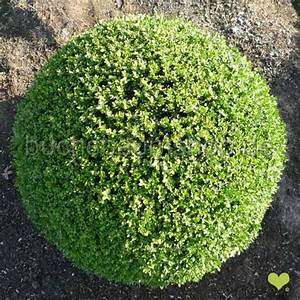 Bux Schneiden Wann : buchsbaum kugel schneiden bux schneiden bux formvollendet ~ Lizthompson.info Haus und Dekorationen