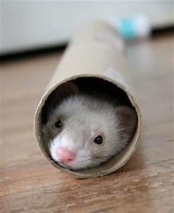 ferret | Cute n Tiny
