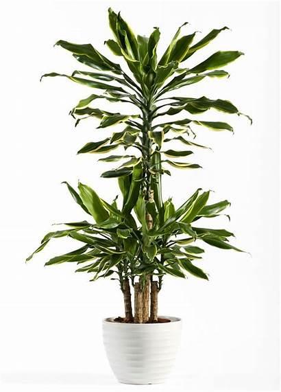 Indoor Plants Trees Plant Tree Palm Corn