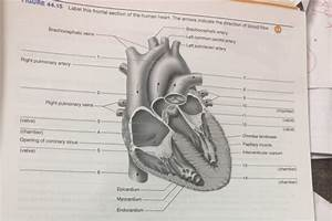 Label This Frontal Section Of The Human Heart  The