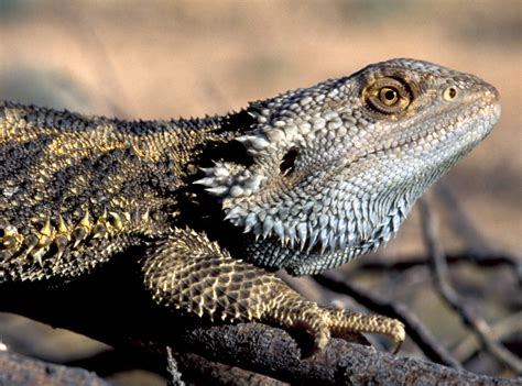 what kind of heat l for bearded dragon these lizards can change their based on the