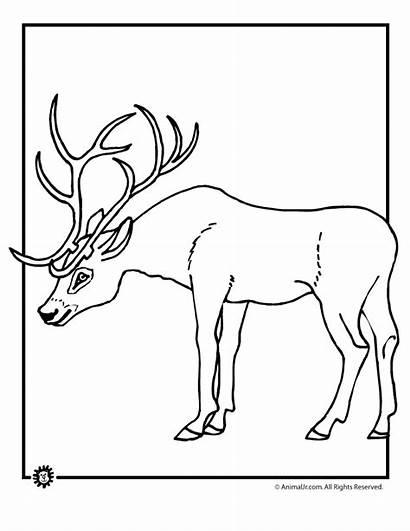Coloring Deer Buck Doe Tailed Printable Whitetail