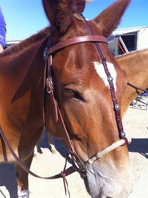 horse mule tack buckaroo western leather horses learn draft learning properly pulling collar care