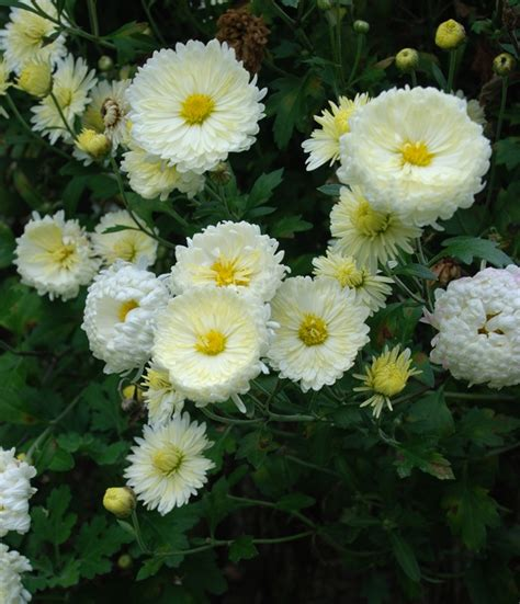 how do mums live are mums a perennial 28 images should you treat mums as perennials or annuals buffalo
