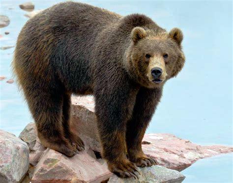 Все о медведях