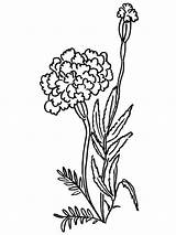 Flower Coloring Pages Marigold Drawing Marigolds Printable Line Flowers Clipart Colors Realistic Pencil Popular sketch template