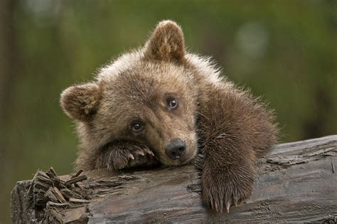 Little Female Grizzly Cub I Had