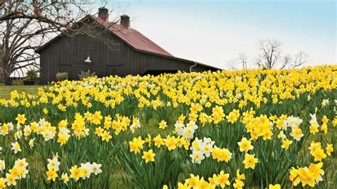 planting daffodils southern living