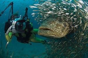 Goliath Grouper Devours 5 Foot Shark In One Bite  Video