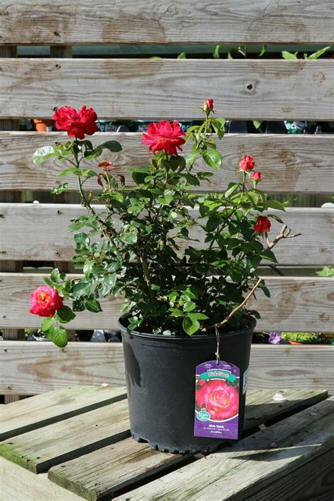 People found this by searching for: 'Dick Clark' Grandiflora Rose