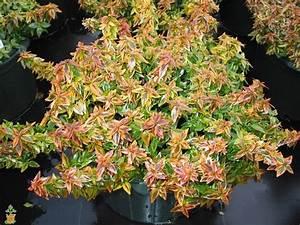 Abelia Grandiflora Kaleidoscope : kaleidoscope abelia the planting tree ~ Melissatoandfro.com Idées de Décoration