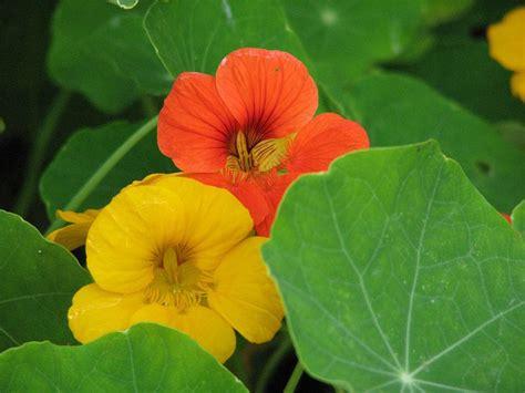 cuisiner maison les fleurs comestibles et plantes sauvages à mettre dans l