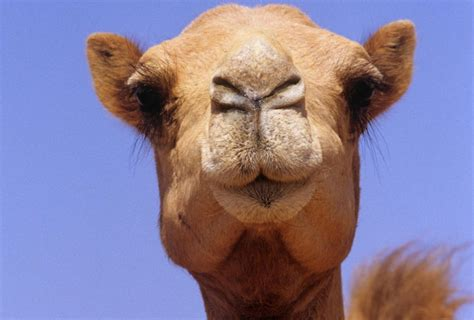 Camel Images Lessons From Camels The Monthly