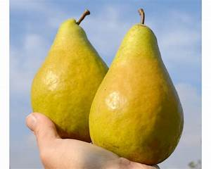 Pear (Pyrus communis) NOYABRSKAYA  Pear