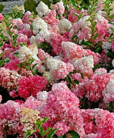 78 best images about hortensia hydrangea on flats pink hydrangea and bretagne