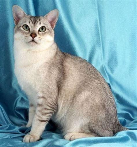 mengenal kucing burmilla kucing gue