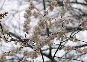 Rosa Blühende Bäume April : winterkirsche schneekirsche prunus subhirtella 39 autumnalis 39 ein echter winterbl her ~ Michelbontemps.com Haus und Dekorationen