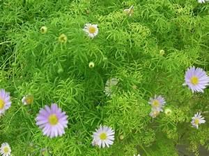 Pflanzenlexikon Mit Bild : blaues g nsebl mchen obi ~ Orissabook.com Haus und Dekorationen