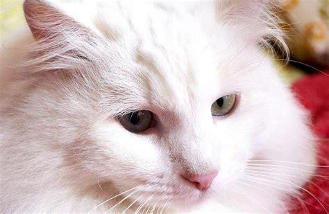 terpercaya  ciri ciri ras kucing anggora  asli kucing pedia