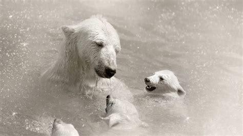 osos polares en el agua  fondos de pantalla