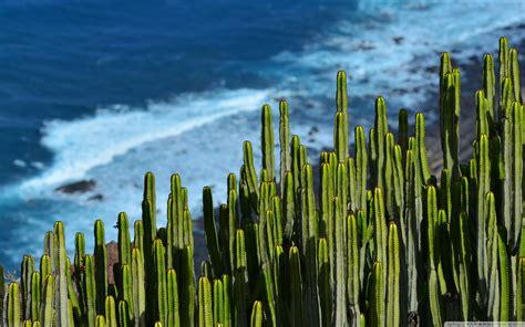 desert cactus ultra hd desktop background wallpaper