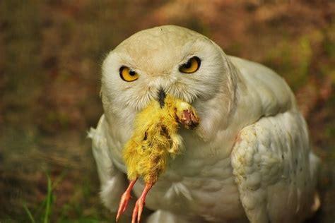How Long Do Barn Owls Live?