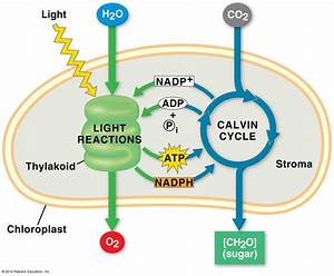 An Overview Of Photosynthesis  Cooperation Of The Light