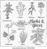Herbs Spices Vector Cannabis Herb Retro Mustard Coloring Drawn Illustration Hand Pages Vectors Asafoetida Shutterstock Valerian Onion Aloe Cumin Vera sketch template