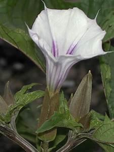 Datura Quercifolia