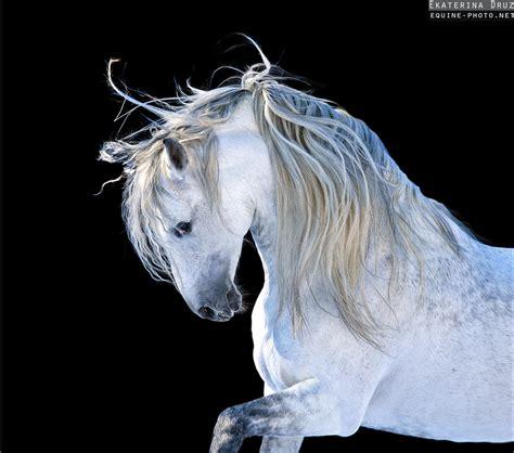 horse andalusian arabian equine horses