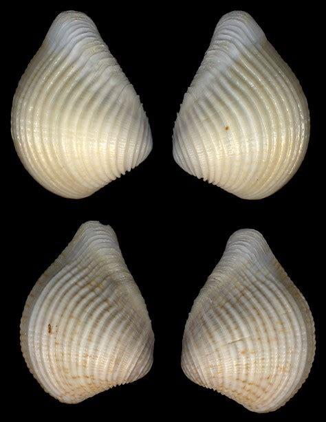 Anomalocardia brasiliana (Gmelin, 1791)