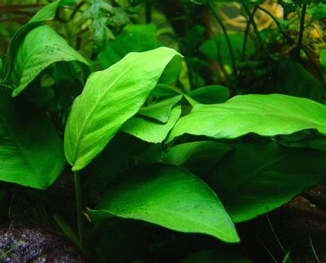 8 easy aquarium plants aquariadise