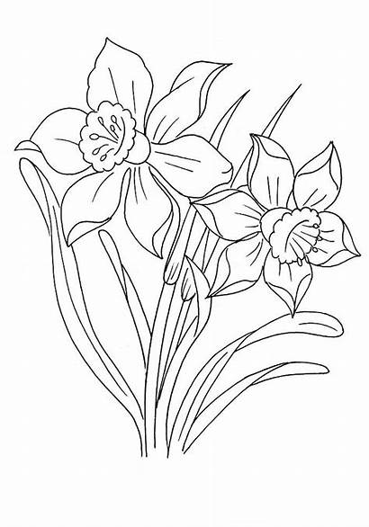 Coloring Narcissus Pages Nature Coloringtop
