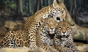 List Of Animals Jaguars Pictures On Animal Picture Society