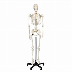Axis Scientific Classic Human Skeleton With Study