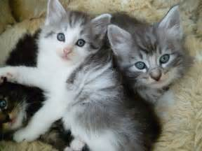 forest cat for forest cat kitten 1 only manningtree essex