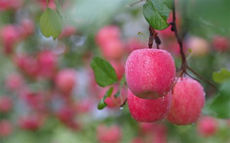 Animated Fruit Wallpaper - apple tree wallpaper 53 pictures