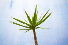Yucca Palme Bekommt Gelbe Blätter by Yucca Palme Bekommt Gelbe Bl 228 Tter 187 Ursachen Ma 223 Nahmen