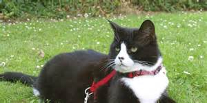 cat leashes how to walk your cat on a leash and why you should huffpost
