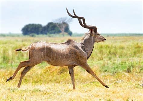 Greater Kudu Antelope